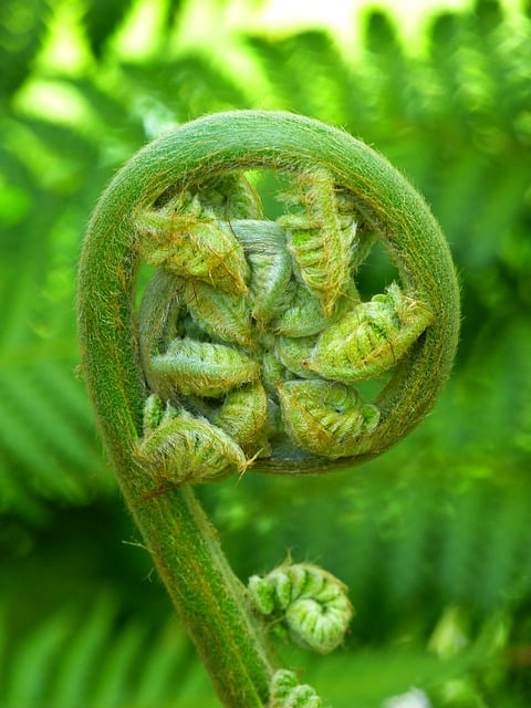 fiddlehead fern edible plant