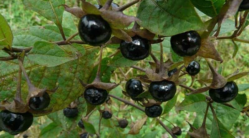 Belladonna berries