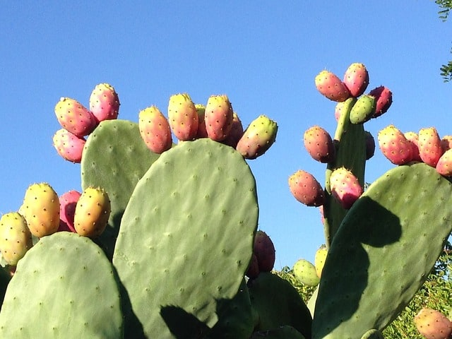 prickly pear cactus edible plant
