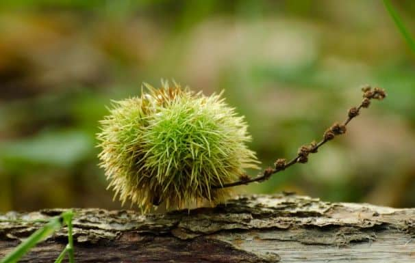 sweet chestnut edible plants
