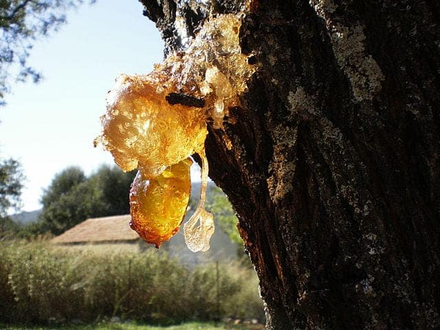 6 Almost-Forgotten Uses for Pine Tree Sap - Primal Survivor
