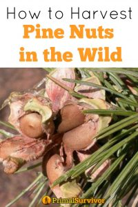 How to harvest pine nuts in the wild