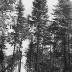 Black spruce tree
