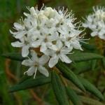 labrador tea plant