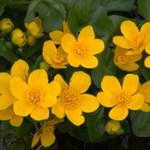 marsh marigold plant