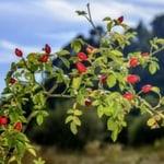 Rosehip plant
