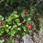 wild-cranberry