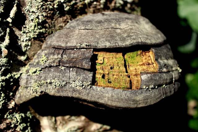Fungus firestarter