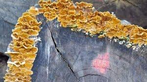 Tinder Fungi