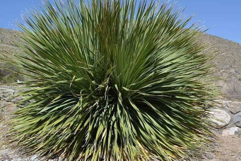 Yukka plant