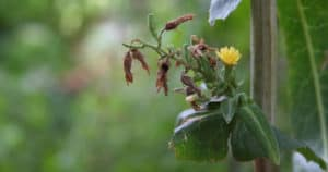 lactuca virosa plant