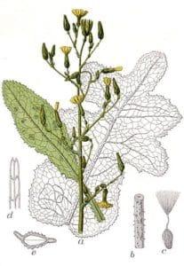 lactuca virosa wild lettuce plant