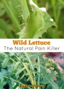 #Wild Lettuce the #Natural Pain Killer. Discusses the benefits and side effects. Shares #recipes and tips on #how to identify this healing plant.