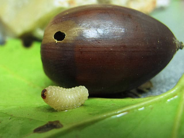 acorn weevil hole