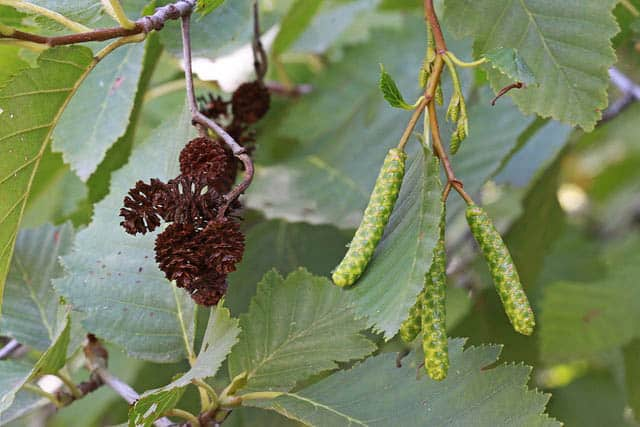 alder medicinal plant
