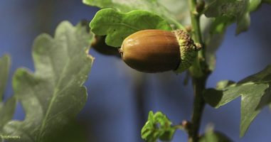 Are Acorns Edible? Rediscover This Abundant Source Of Free Food