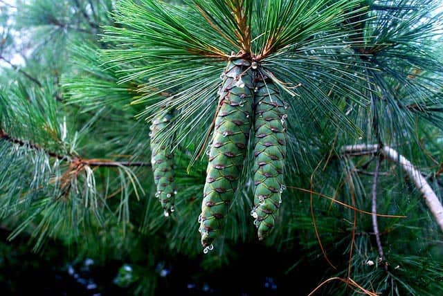 conifer sap medicinal
