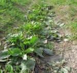 plantain medicinal plant
