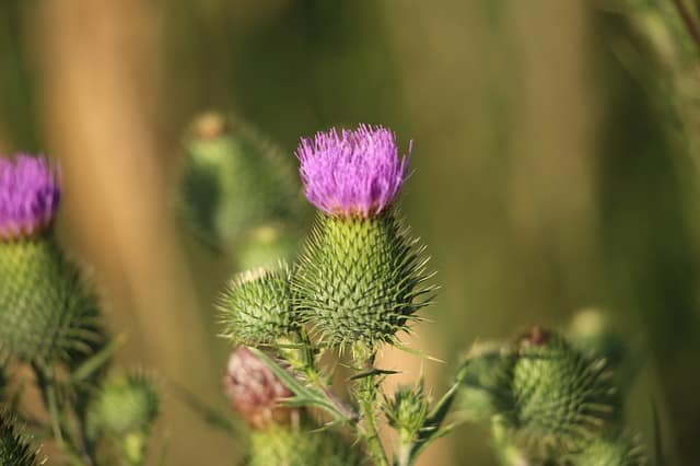 burdock for cough