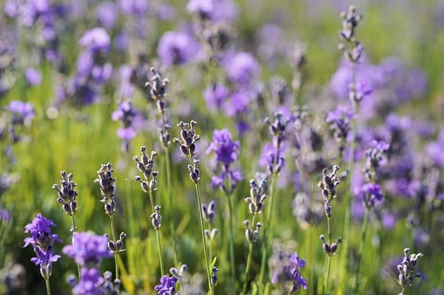 lavender natural painkiller