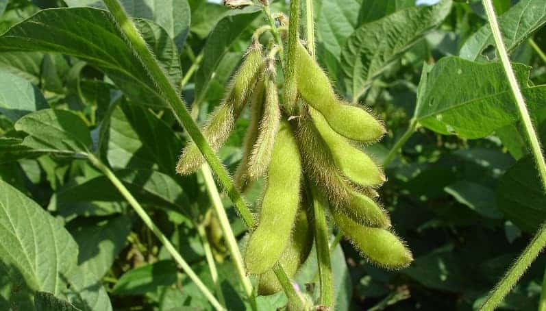 soy beans growing