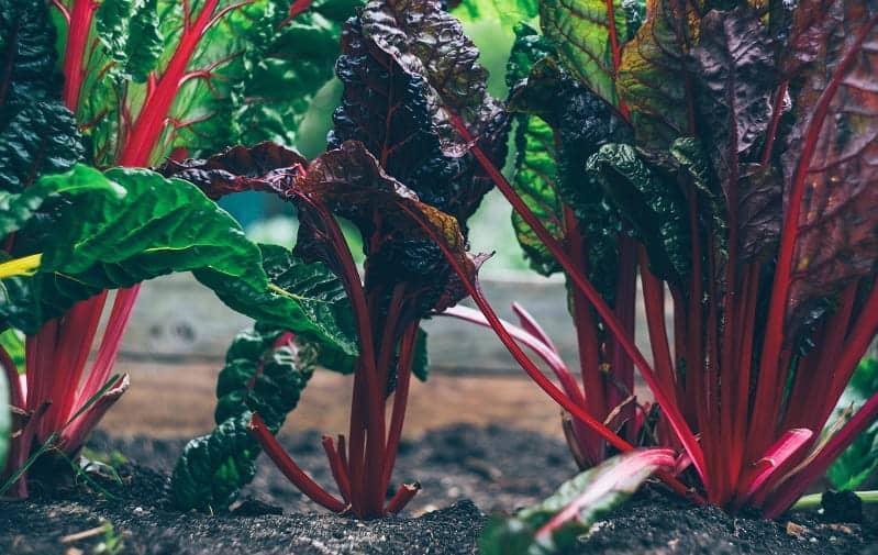 swiss chard growing