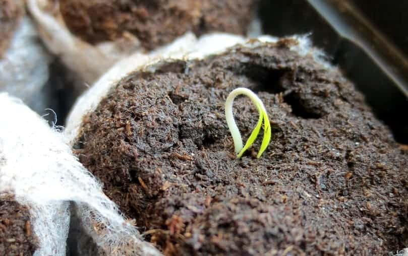 Seedling in pot