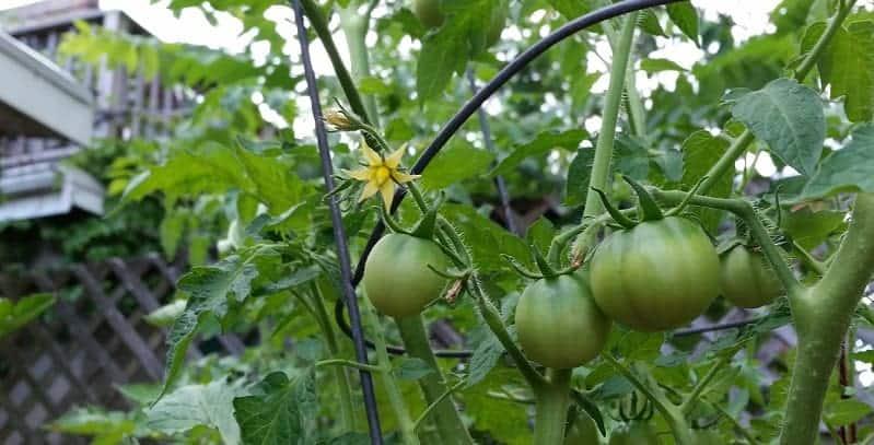 Tomato plant in tomato cage