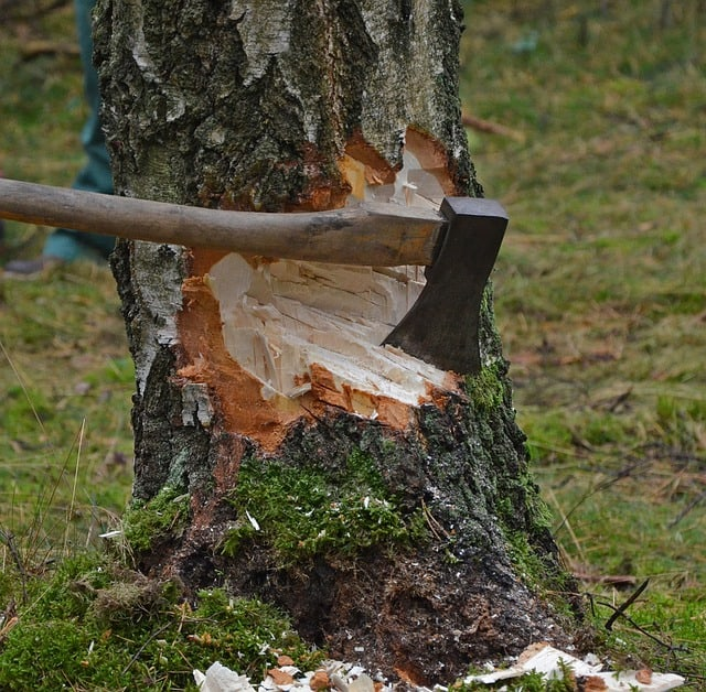 felling tree with axe