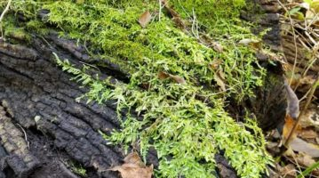 Edible Lichen and Moss: A Last Resort?