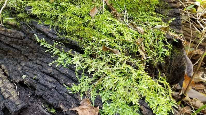Edible Lichen And Moss A Last Resort