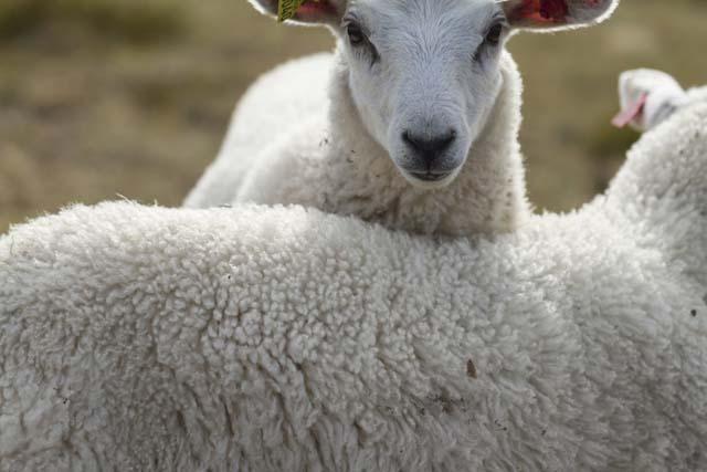 wooley sheep
