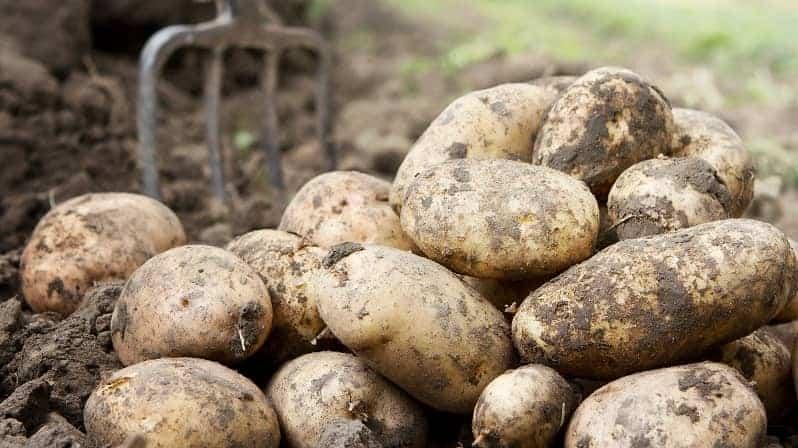 Potatoes - harvesting