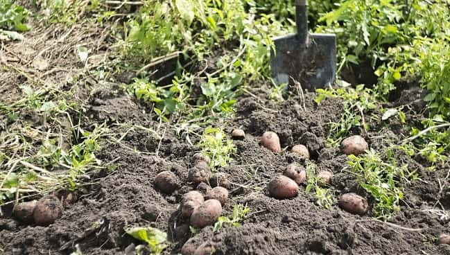 Lifting spuds from ground