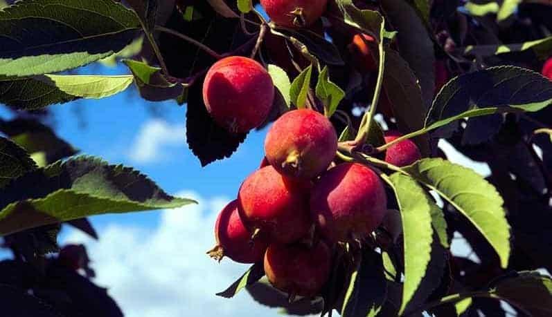 Colorado apples