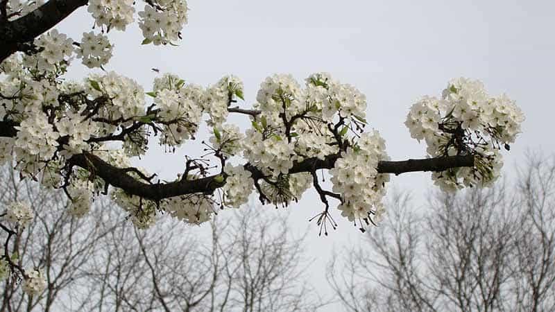 crabapple branch in flower