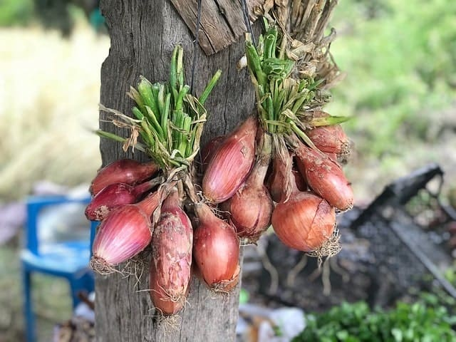 drying onions for root cellar