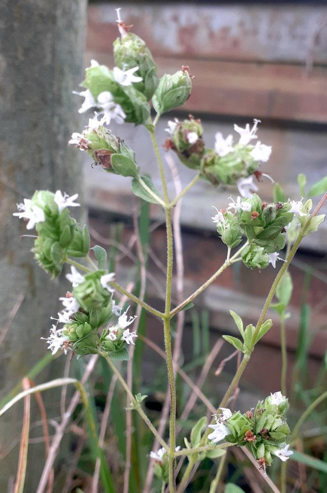 Fleur d'origan