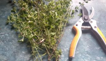 How To Make Oregano Oil and Why Every Survivalist Needs It